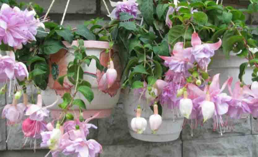 Ампельные комнатные цветы